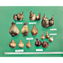 PERCE-NEIGE plicatus HIPPOLYTA