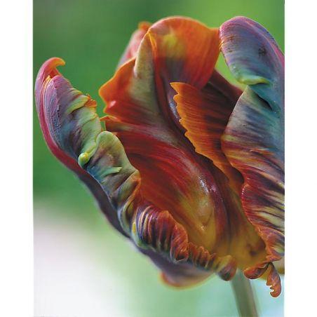 TULIPE perroquet BLUMEX FAVOURITE