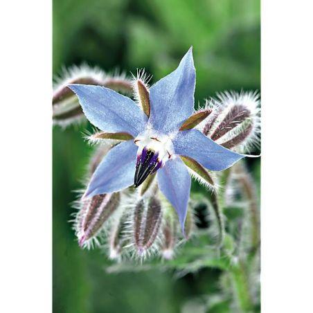 BOURRACHE BLEUE (borago officinalis) Bio