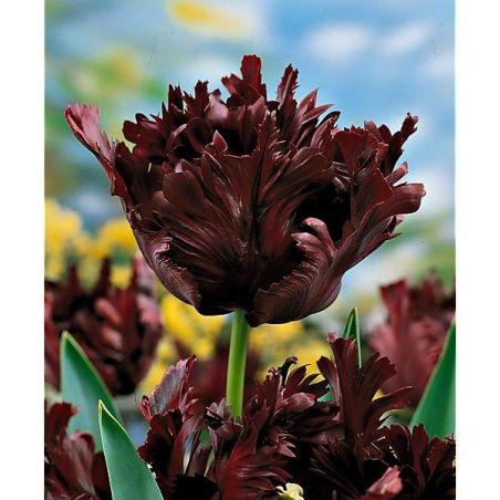 TULIPE perroquet BLACK PARROT
