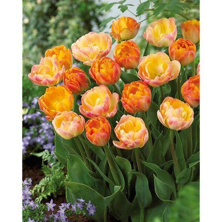 TULIPE fleur de pivoine CRÈME d'ORANGE