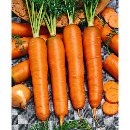 CAROTTE ROUGE LONGUE OBTUSE SANS CŒUR ou carotte des Ardennes (Lange rote stumpfe ohne Herze 2 ou Berlicum 2)
