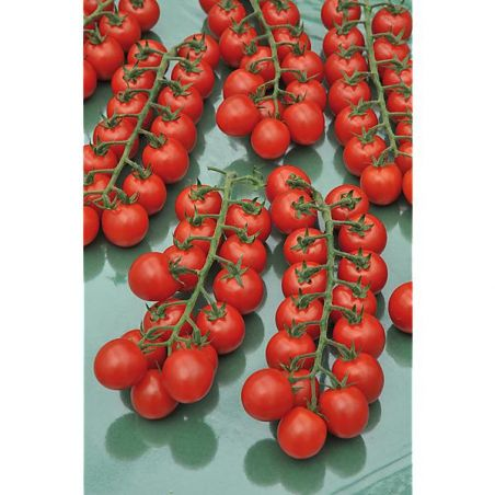 TOMATE F1 RED BUNCH