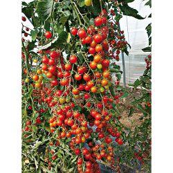 Phlox Paniculata Sweet Summer Surprise