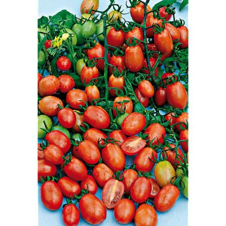 TOMATE F1 DATTORED