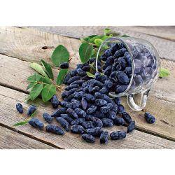 HERBE de Sainte BARBE ou CRESSON d'HIVER (barbarea vulgaris variegata)