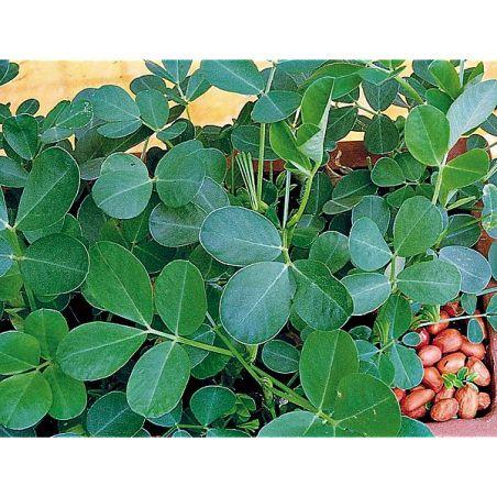ARACHIDE HÂTIVE d'ESPAGNE (cacahuète, pistache de terre)