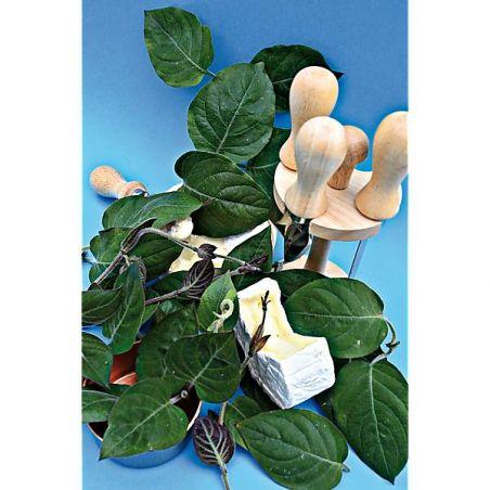 PLANTE FROMAGE (paederia lanuginosa)