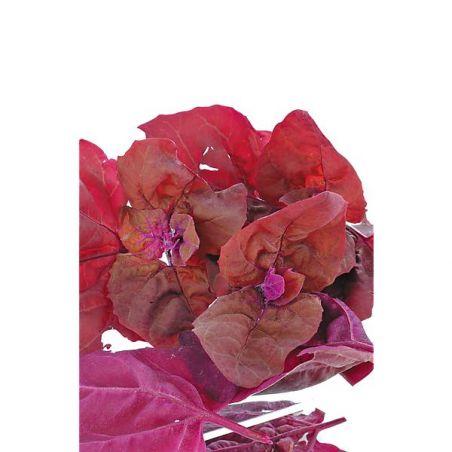 ARROCHE ROUGE FONCÉ (atriplex hortensis)