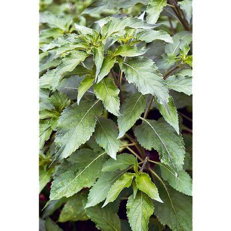 BASILIC AFRICAIN ARBUSTIF (ocimum gratissimum)