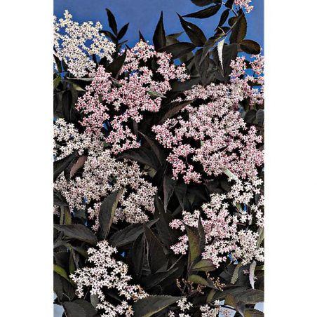 SUREAU racemosa BLACK TOWER®