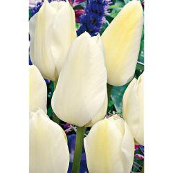 Pétunia Multiflora f1 Mirage Blanc Pur