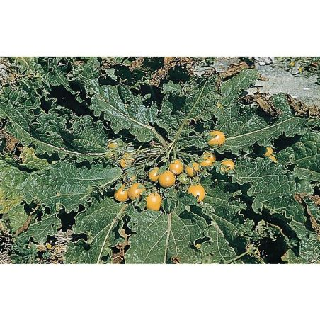 MANDRAGORE OFFICINALE