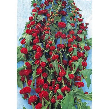 ÉPINARD FRAISE épis feuillés (chenopodium virgatum)