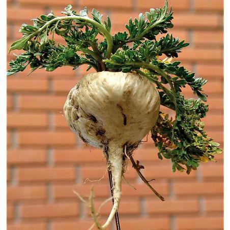 MACA du PÉROU (lepidium meyenii)