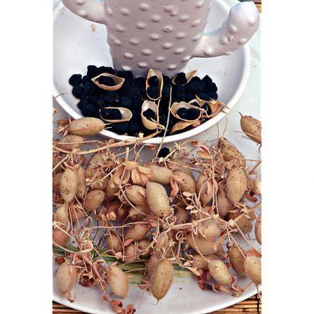 POIS CHICHE de semence NOIR de SICILE