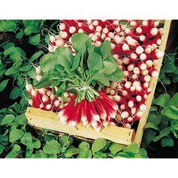 Pivoine Herbacée De Jardin Pink Cameo