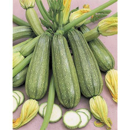 COURGETTE VERTE PETITE d'ALGER (grey zucchini)