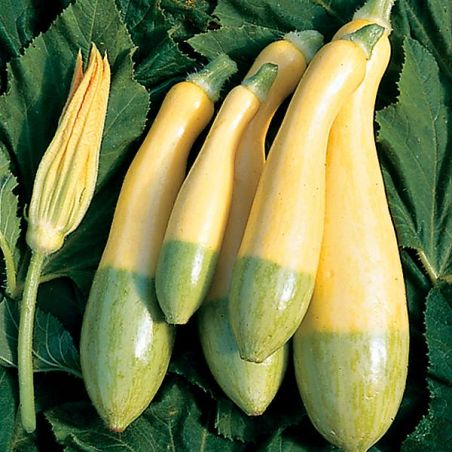 COURGE F1 ZEPHYR