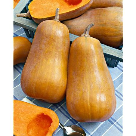 COURGE musquée F1 HONEYBABY