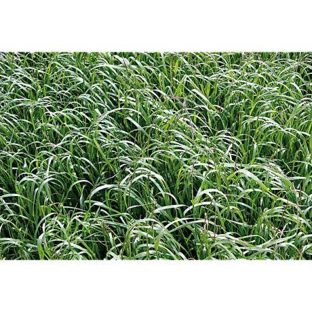 RAY-GRASS d'ITALIE (lolium multiflorum)