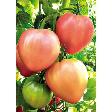 TOMATE F1 DOLCECUORE