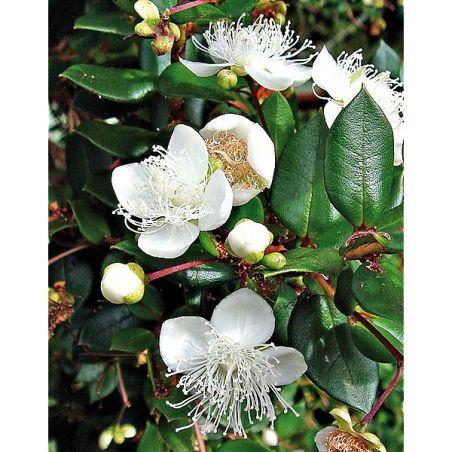 MYRTE ARGENTINE (myrteola nummularia)