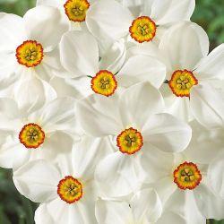 PANICAUT (eryngium) alpinum SUPERBUM