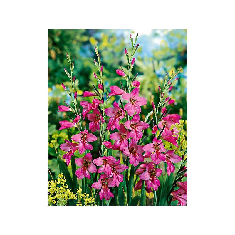 Orchidée Rustique Bletilla ‒ Graines Baumaux