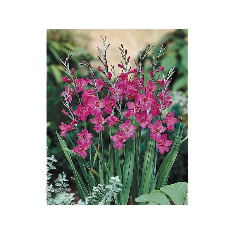 tulipe darwin hybride hakuun graines baumaux. Black Bedroom Furniture Sets. Home Design Ideas