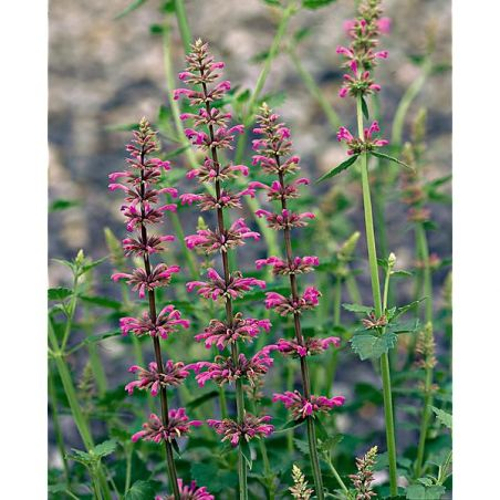 AGASTACHE pallidiflora PINK POP