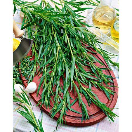 ESTRAGON de RUSSIE (artemisia dracunculus)