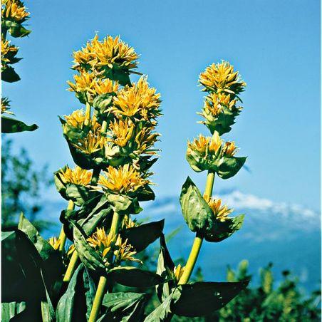 GENTIANE JAUNE (gentiana lutea)