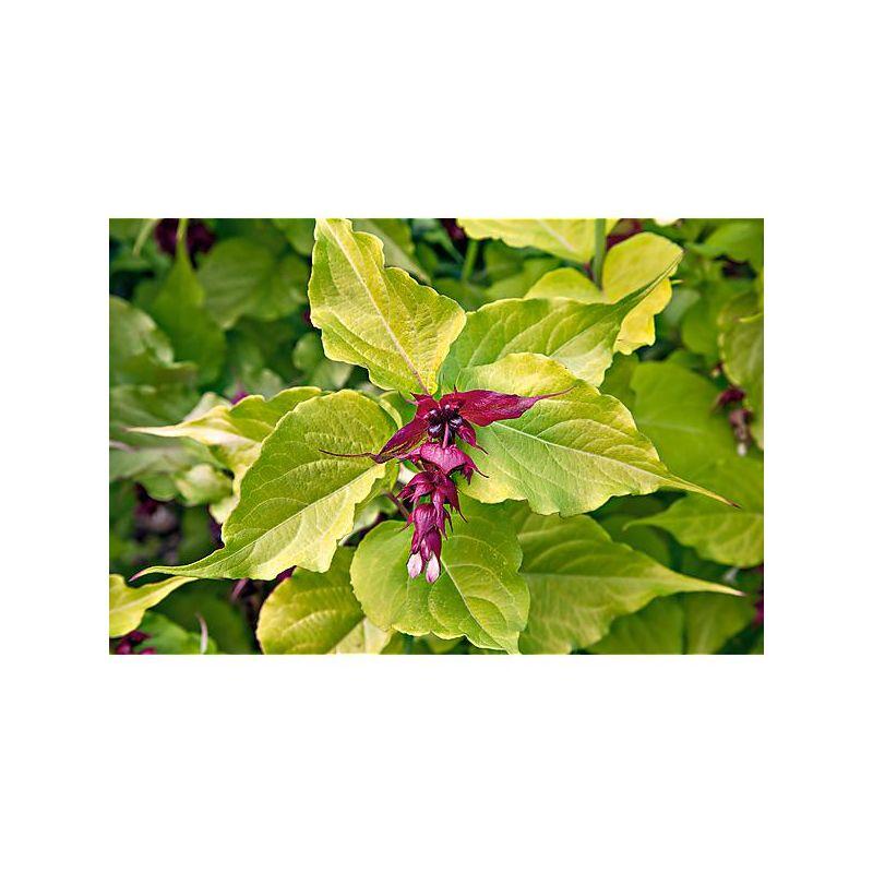 PÉTUNIA grandiflora F1 SUPERCASCADE MIX