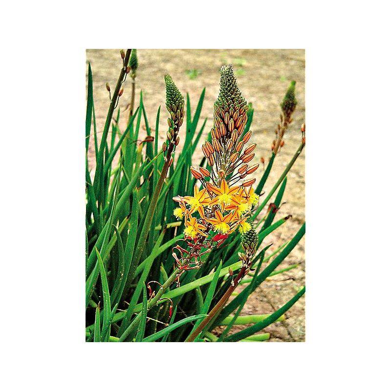 PÉTUNIA grandiflora F1 SUCCESS !® 360° BLEU FONCÉ