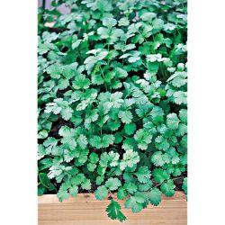 Chou Cabus Offenham 3 Wintergreen