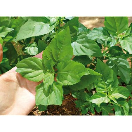 BASILIC POIVRON VERT (ocimum selloi)