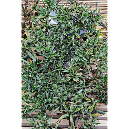 CORIANDRE MEXICAINE (eryngium foetidum)