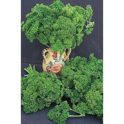 Chou Brocoli Vert Calabrais Bio