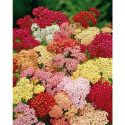 ZINNIA F1 PROFUSION RED