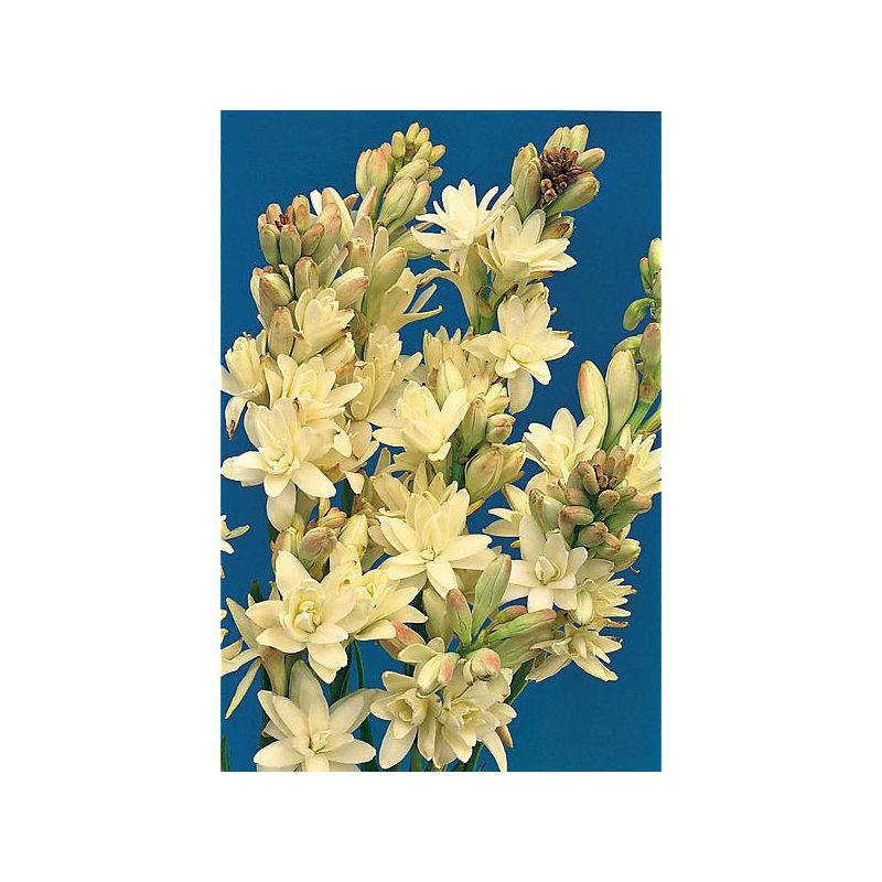 tulipe multiflore outbreak graines baumaux. Black Bedroom Furniture Sets. Home Design Ideas