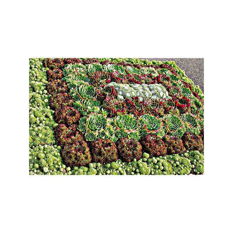TRÈFLE BLANC HUIA (trifolium repens)