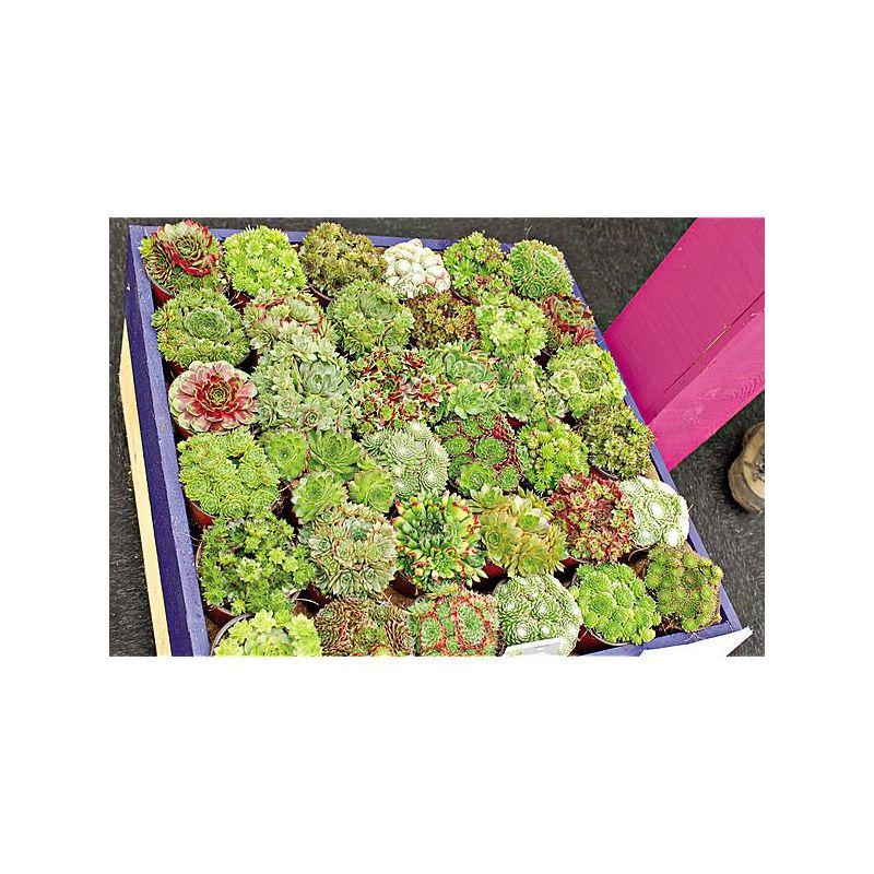 TRÈFLE VIOLET ROZETA (trifolium pratense)