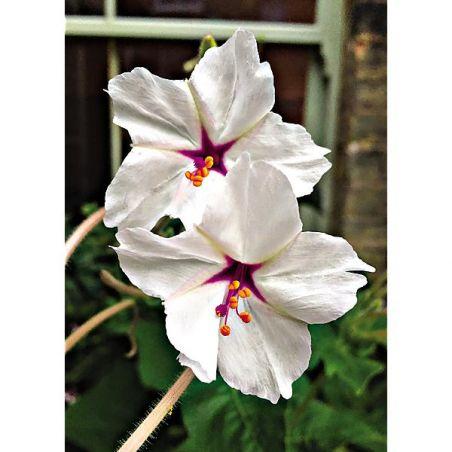 BELLE de NUIT ODORANTE (mirabilis longiflora)