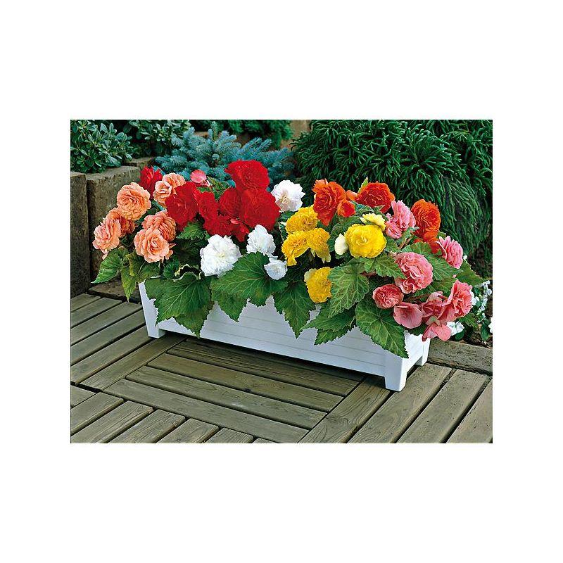 tulipe pivoine grace mix graines baumaux. Black Bedroom Furniture Sets. Home Design Ideas