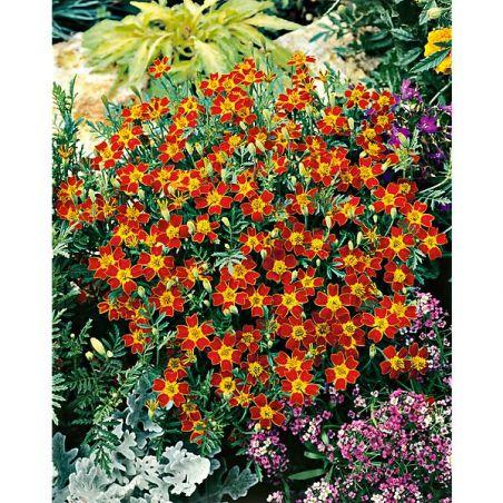 ŒILLET d'INDE tenuifolia PAPRIKA