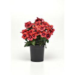 Radis Noir Gros Long D'hiver