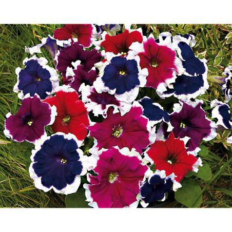 PÉTUNIA multiflora F2 PICOTEE MIX