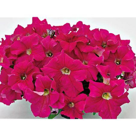 PÉTUNIA grandiflora F1 SUCCESS !® 360° ROSE FONCÉ