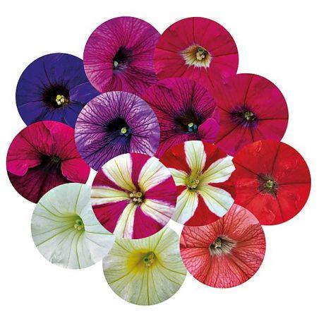 PÉTUNIA grandiflora F1 SUCCESS !® 360° MÉLANGE